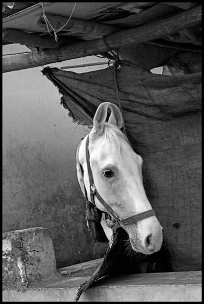 INDIA. 5. Rajasthan. Udaipur. Horse.